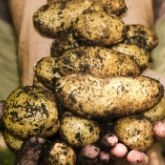 Heart of England Organic Group Potato Day