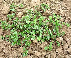 Common Weed