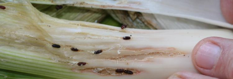 Allium leaf miner survey