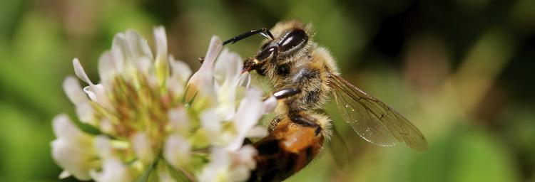 Bee on flower pollinator neonics