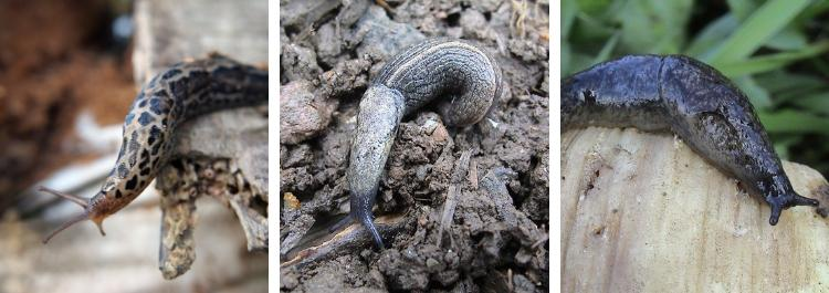 What is the best way of trapping slugs?