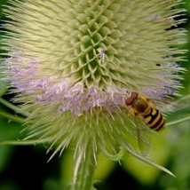 Hoverfly on Teasel